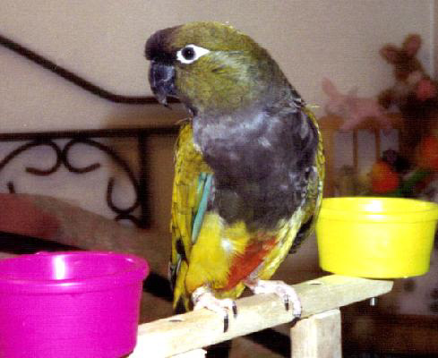 free downloading videos of birds patagonian conure